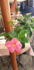 fiore trattoria chanteclers
